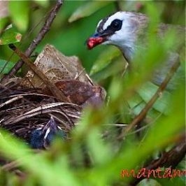 Yellow-vented Bulbul: Food for the chicks