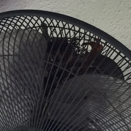 Yellow-vented Bulbul nesting in a fan