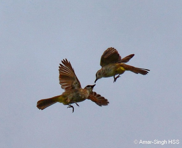 A clash between two Yellow-vented Bulbuls - they were the best at hunting for these insects