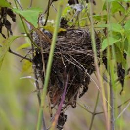Nesting of the Yellow-vented Bulbul