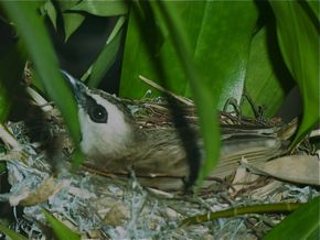 Yellow-vented Bulbul: Recycling old nests?
