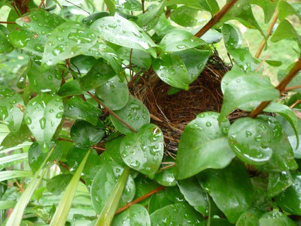 Nesting bulbul: 5. An empty nest