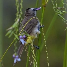 Yellow Vented Bulbul feeding on <em>Thalia geniculata</em> flowers