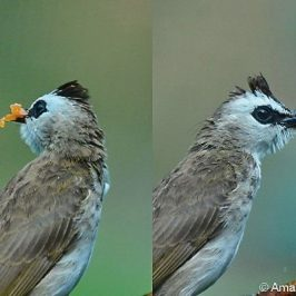 Yellow-vented Bulbul – food for juveniles