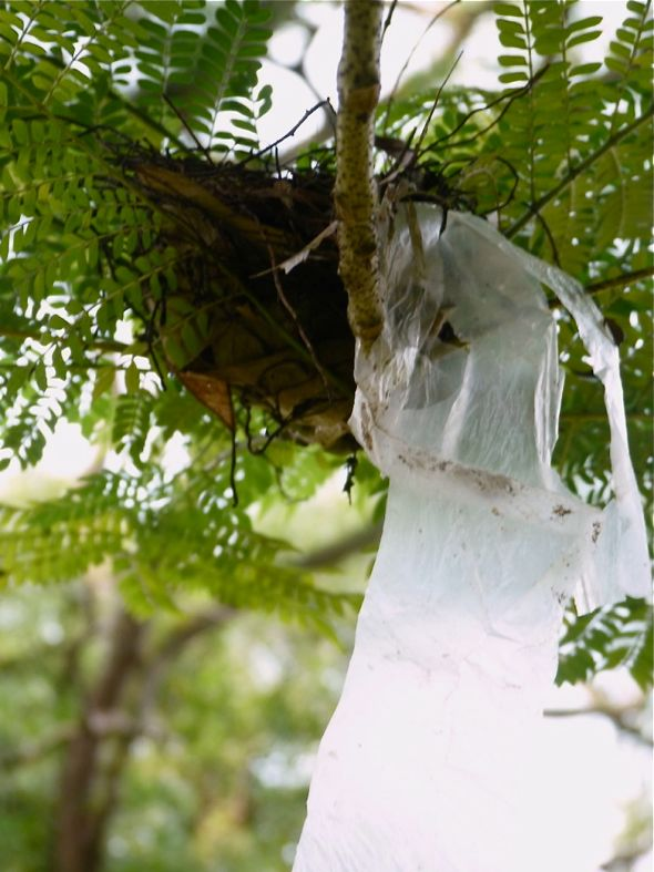 Yellow-vented Bulbul uses a plastic bag to construct a nest