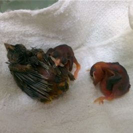 Rescuing Yellow-vented Bulbul chicks…