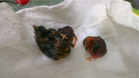 Rescuing Yellow-vented Bulbul chicks...