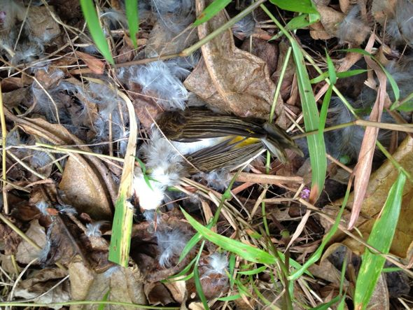 A sparrowhawk's kill