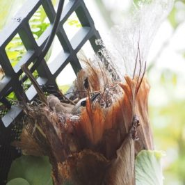 Yellow-vented Bulbul nesting in a Staghorn Fern