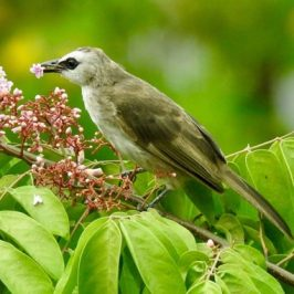 Yellow-vented Bulbul snacks on Starfruit flowers