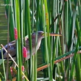 Grey Heron – tongue, feeding behaviour