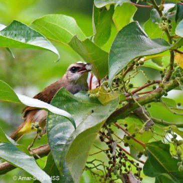 Australian Mulberry (Pipturus argenteus): More birds taking the fruits
