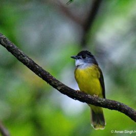 The Yellow-bellied Bulbul and its call