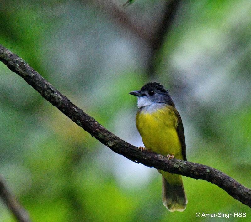 Yellow-bellied Bulbul-1aa-Kubah National Park, Sarawak, Borneo, Malaysia-12th September 2017