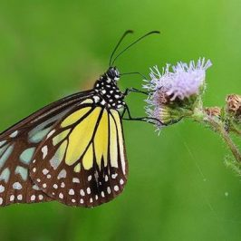 Feeding behaviour of butterflies