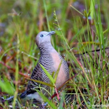 Zebra Dove – less common feeding behaviour