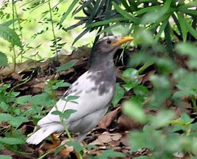Anting by an albino Javan Myna