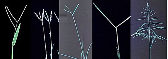 l-r: Axonopus compressus; Cynodon dactylon; Eleusine indica; Paspalum conjugatum and Panicum sp.