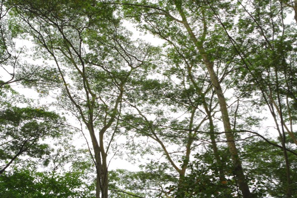 Albizia woodland canopy (Photo credit: YC Wee)