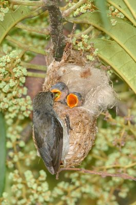 Scarlet-backed Flowerpecker nesting from another occasion...