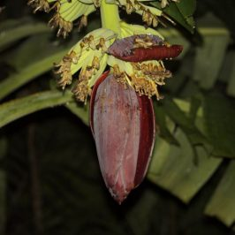 Cave Nectar Bats taking nectar from banana flowers