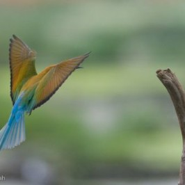 Blue-tailed Bee-eater landing on a perch