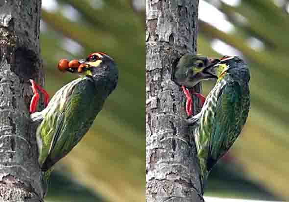 Coppersmith Barbet nesting (Photo credit: Tang Hung Bun)