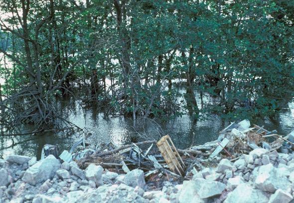 Punggol-Serangoon mangrove. Picture taken on April 1983
