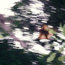 Save MacRitchie Forest: 2. Flying Lemur