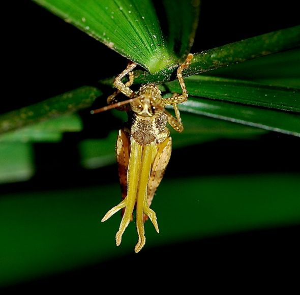 Moulting of a grasshopper