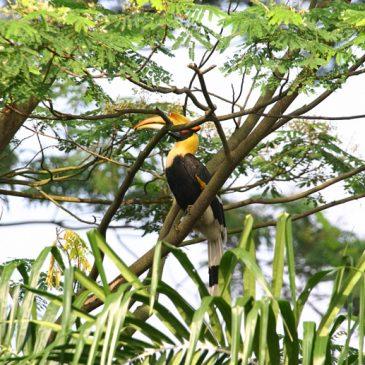 Great Hornbill feeding chick inside the nest