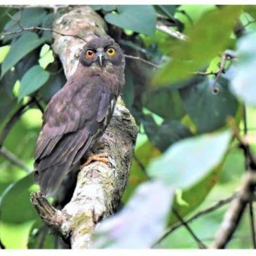 Heterochromia iridis in Ninox scutulata (brown hawk owl)