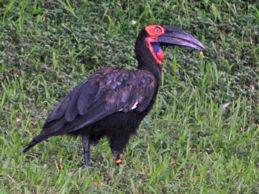 Southern Ground Hornbill sighted in Singapore