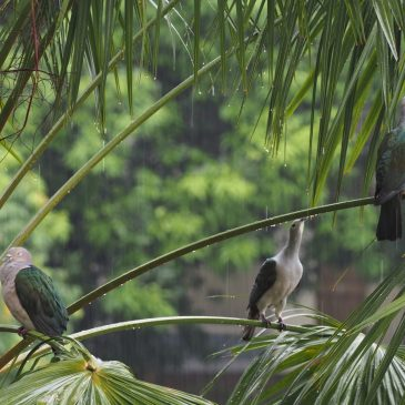 Green-imperial pigeon drinking rainwater