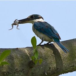 Collared Kingfisher catches a froglet