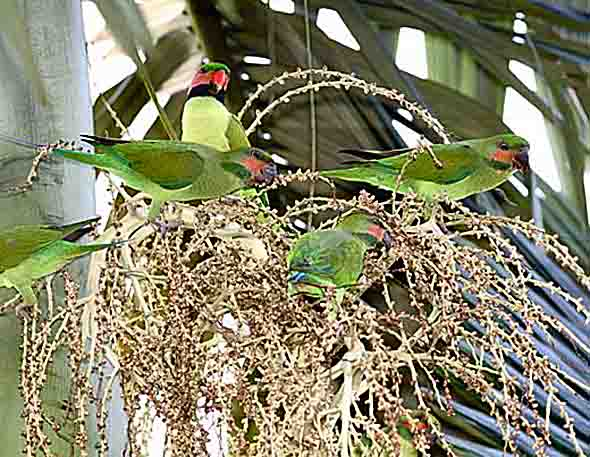 Long-tailed Parakeets feeding on Alexandra Palm fruits (Photo credit: YC Wee)