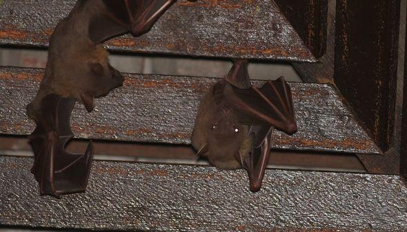 Bats in my porch: 16. An uneventful evening