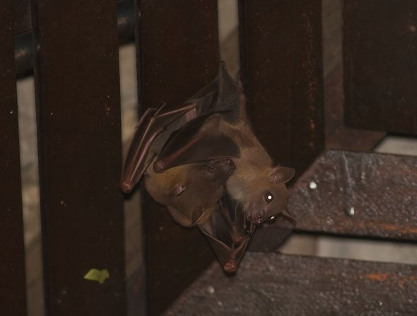 Bats in my porch: 18. Adult females and their pups