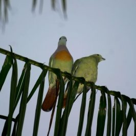 Pink-necked Green-pigeon feeding 3 fledglings