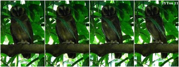The concealing behavior in owls