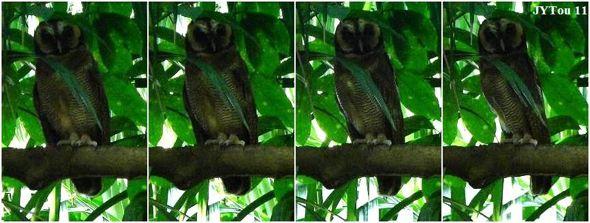 The concealing behavior in owls