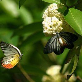 Insects in the bird garden: 1. Butterflies and mistletoes