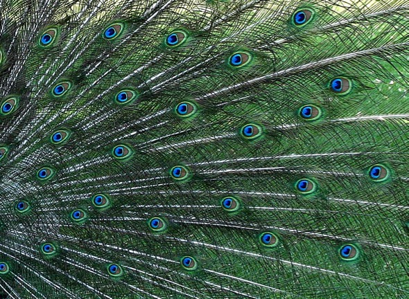 "Peafowl feathers showing the many ""eyes."" - YC Wee"