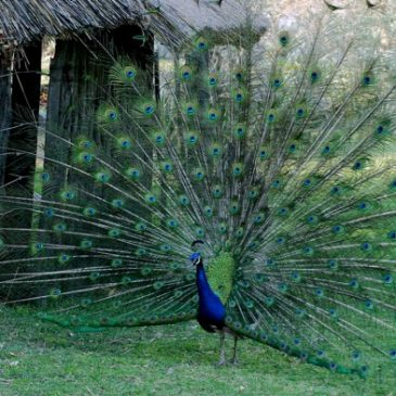 Indian Peafowl used in Indian traditional medicine