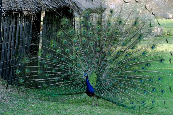 Indian Peafowl - YC Wee