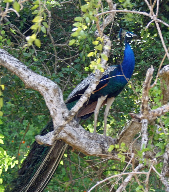 Male Peafowl on a tree branch - YC Wee