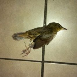 Migrating Lanceolated Warbler crashed against glass door