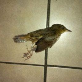 Migrating Lanceolated Warbler crashed against glass door