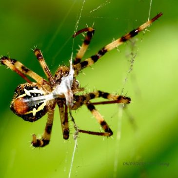 Spider Wrapping Prey for Dinner