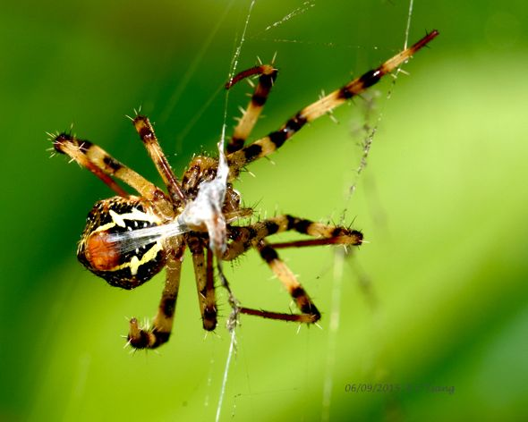 Spider in web with prey - photo#43